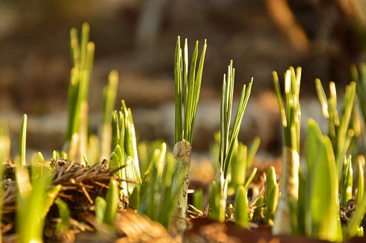 Leuchtende Krokuszwiebeln für den Blumenkasten